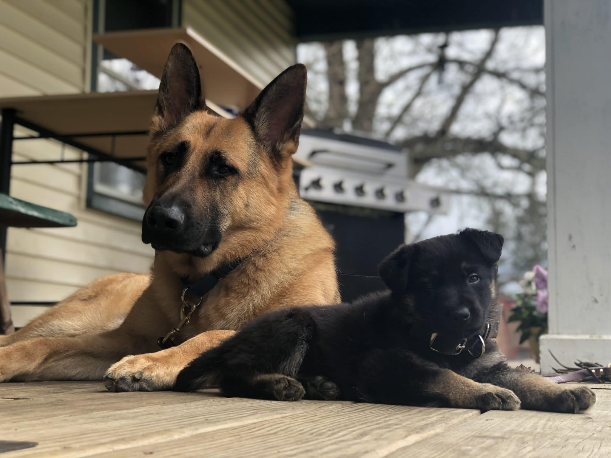 Gypsy and Ike sitting on porch facing camera