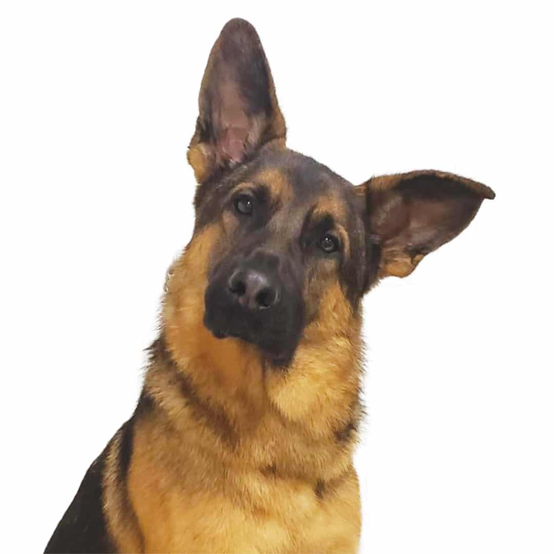 Fidelco black and tan dog head tilt