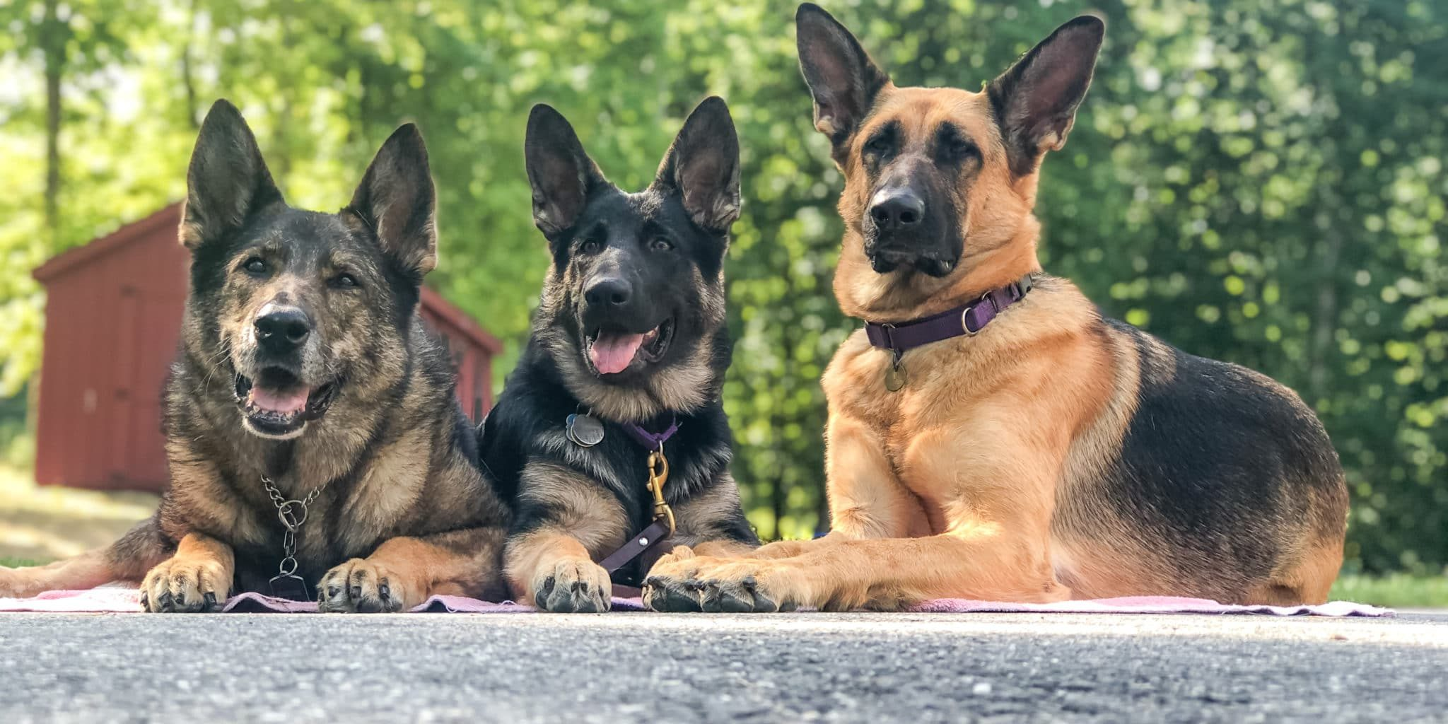 """Lying down from left to right, retired breed dog """"Markey"""", """"Gypsy"""" in the puppy program, and """"Indra"""" guide dog in training."""